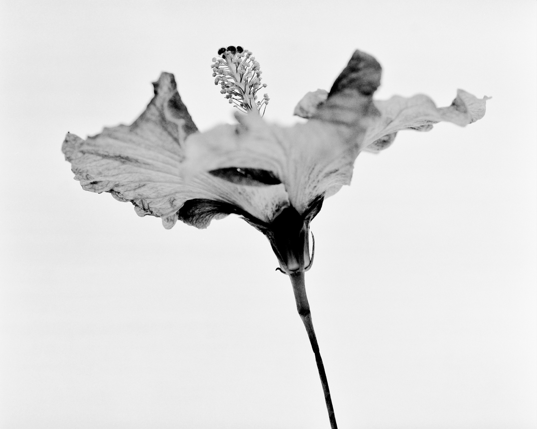 Axel Bernstorff, Collectable limited edition fine art photographic prints. Hibiscus (rosa-sinensis)