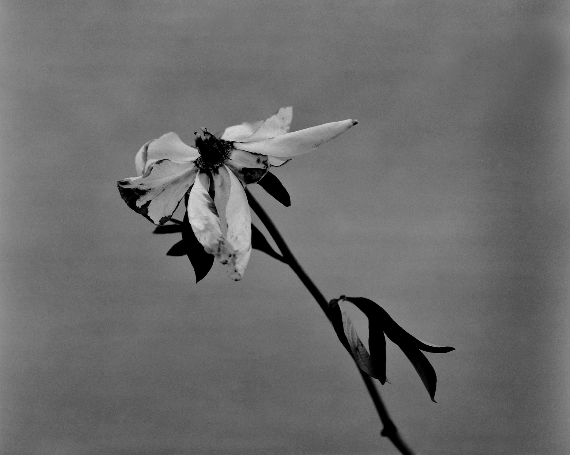 Axel Bernstorff, Collectable limited edition fine art photographic prints. Open Peony flower, (Paeoniaceae family) Platinum / Palladium and silver gelatin prints available.