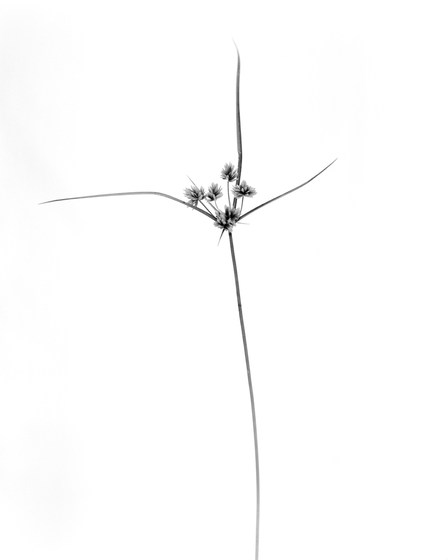 Axel Bernstorff, Collectable limited edition fine art photographic prints. Tall flatsedge grass (Cyperus eragrostis)