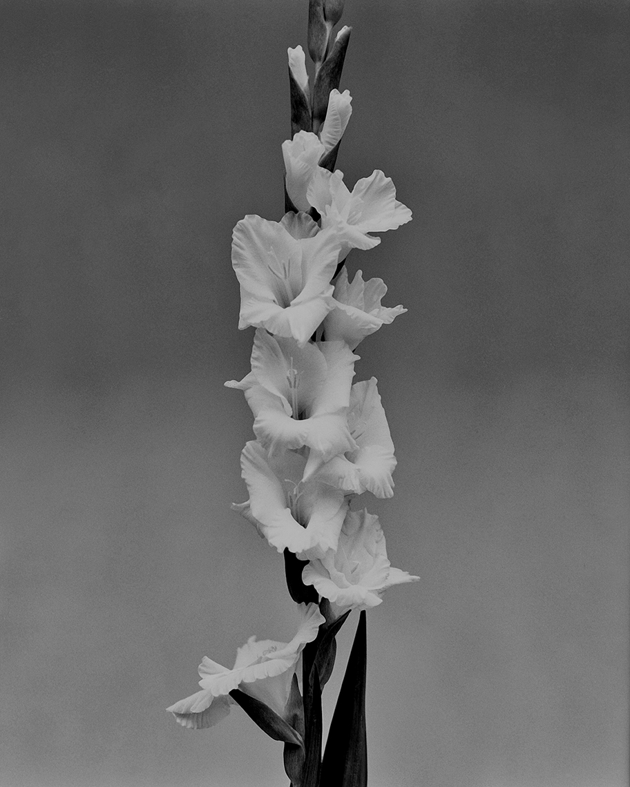 Axel Bernstorff, Collectable limited edition fine art photographic prints. Gladiolus (from iris family Iridaceae) Platinum / Palladium and silver gelatin prints available.