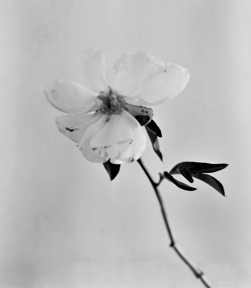 Axel Bernstorff, Collectable limited edition fine art photographic prints. Open Peony flower, (Paeoniaceae family)