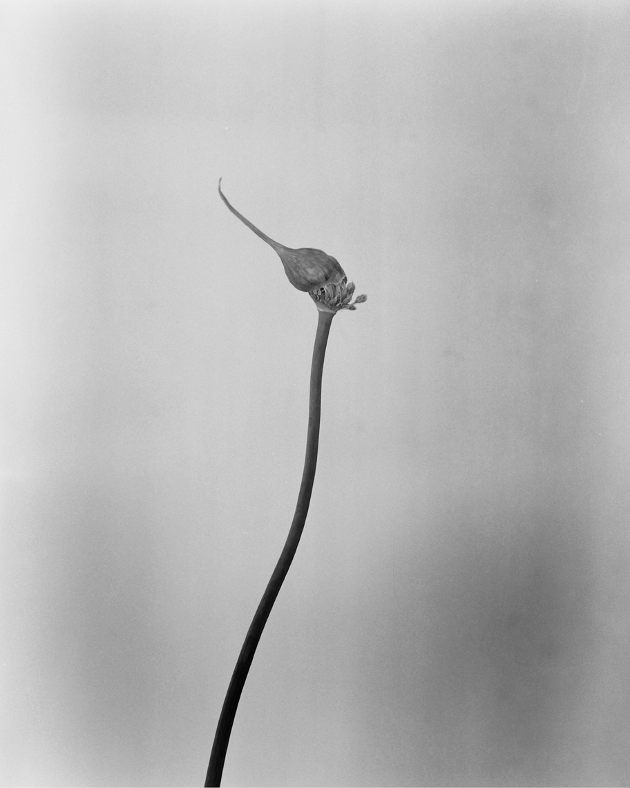 Axel Bernstorff, Collectable limited edition fine art photographic prints. Flowering Wild Garlic. Platinum / Palladium and silver gelatin prints available.