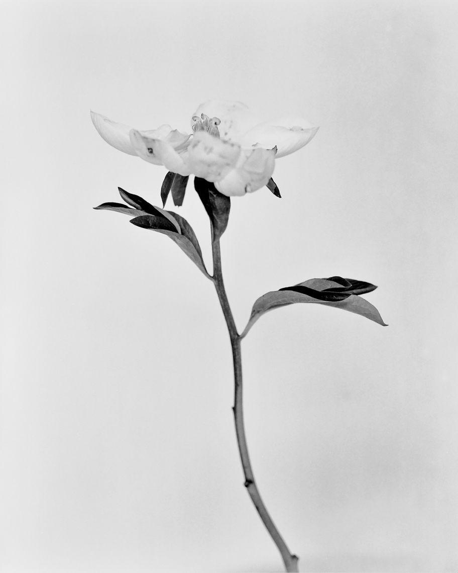 Axel Bernstorff, Peony, (Paeoniaceae family) Collectable limited edition fine art photographic prints. Open Peony flower, (Paeoniaceae family)Axel Bernstorff, Collectable limited edition prints. Open Peony flower, (Paeoniaceae family) Platinum / Palladium and silver gelatin Prints available.