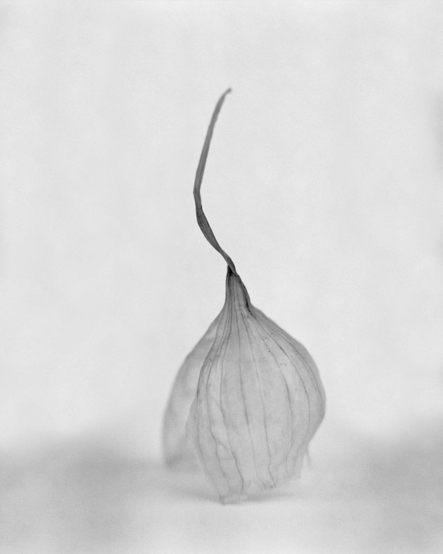 Axel Bernstorff, Collectable limited edition fine art photographic prints. Flowering Wild Garlic Bonnet. Platinum / Palladium and silver gelatin prints available.