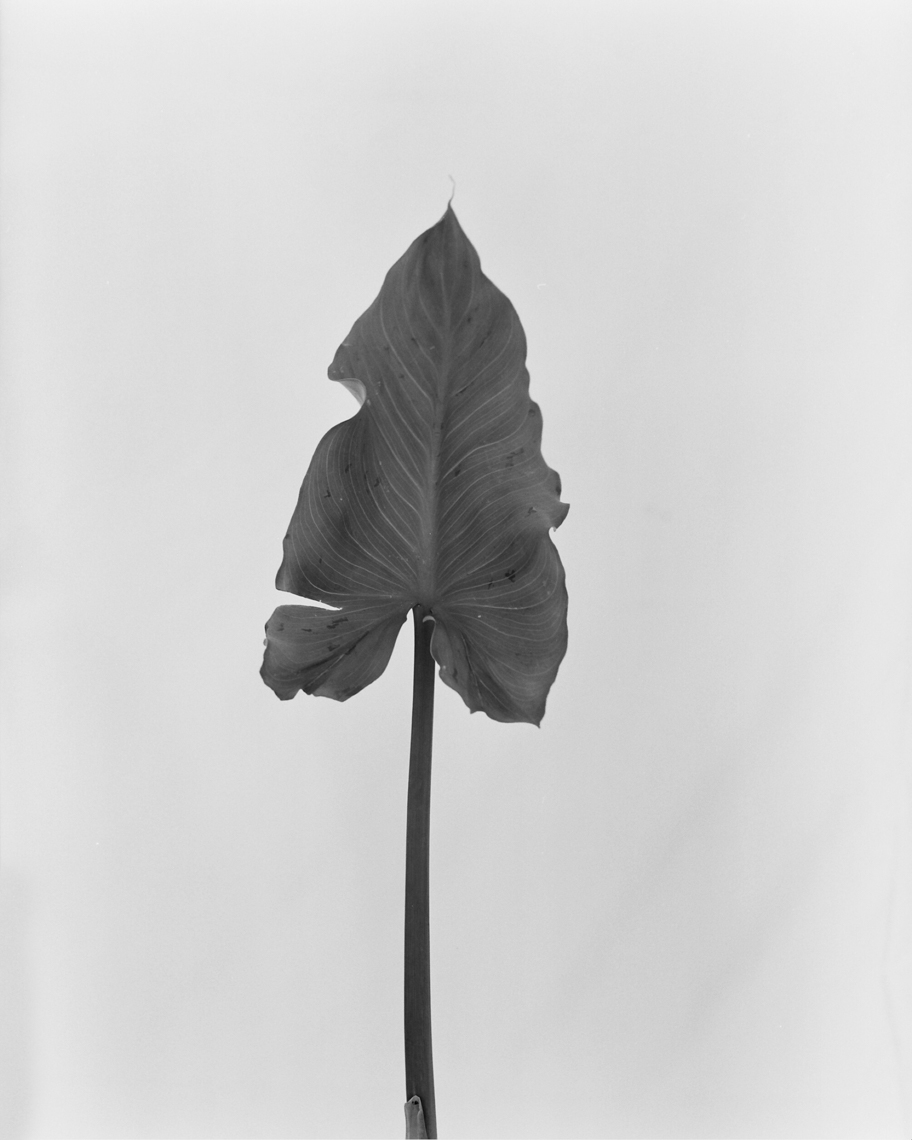 Axel Bernstorff, Collectable limited edition prints. Lily leaf, (Lilium candidum)