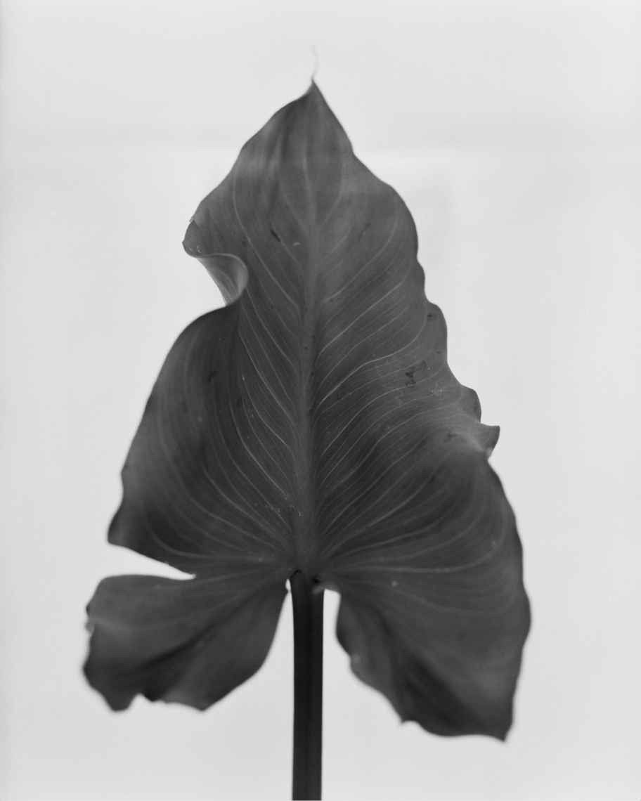 Axel Bernstorff, Collectable limited edition fine art photographic prints. Lily leaf, (Lilium candidum)