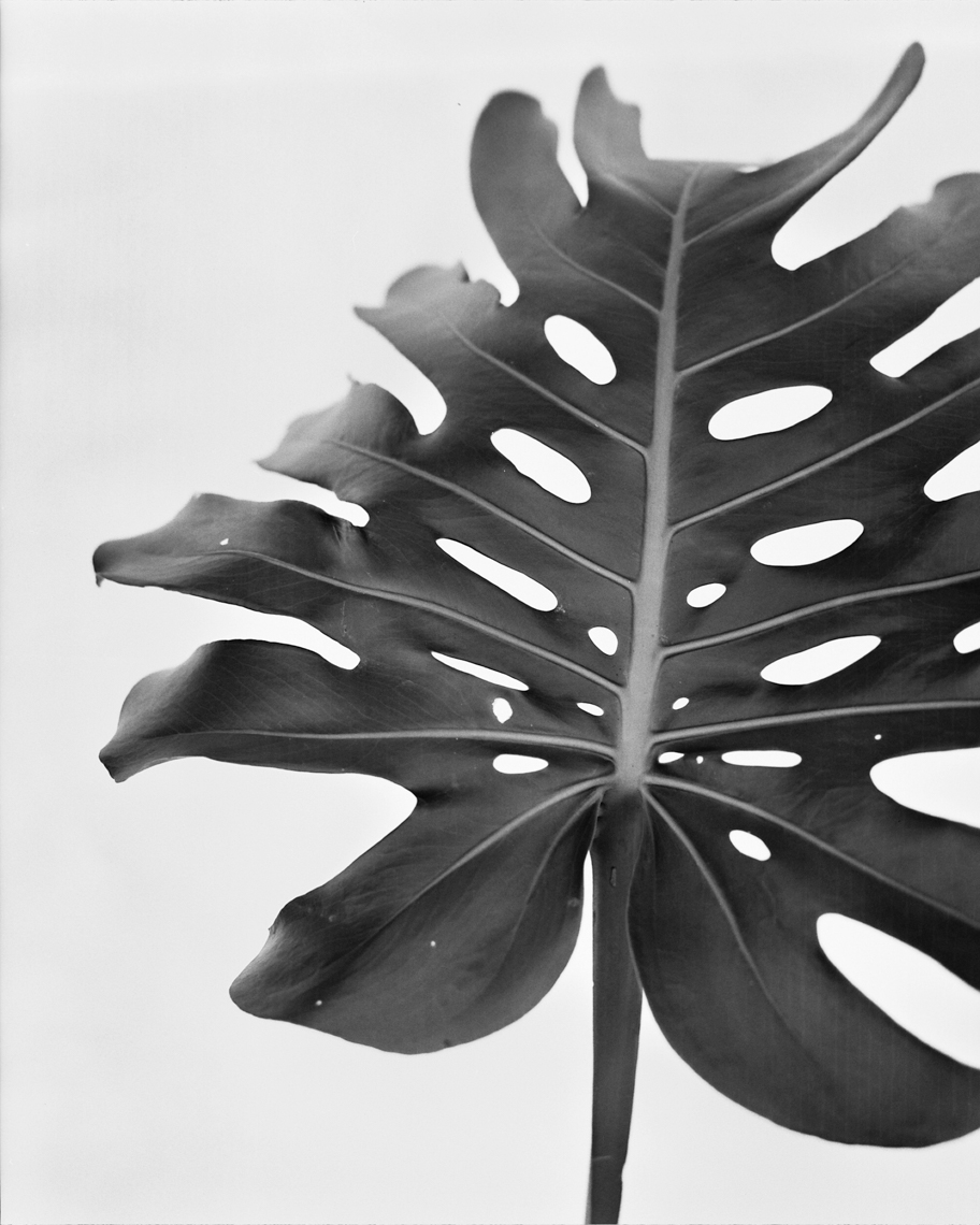 Axel Bernstorff, Collectable limited edition fine art photographic prints. Cheese plant (Monstera deliciosa)  Platinum / Palladium and silver gelatin prints available.