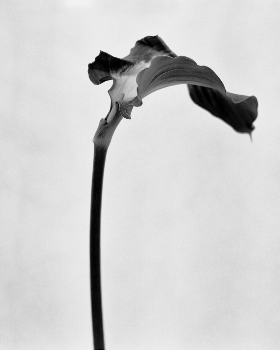 Axel Bernstorff, Collectable limited edition fine art photographic prints. Arum lily (aethiopica Zantedeschia) Platinum / Palladium and silver gelatin prints available.