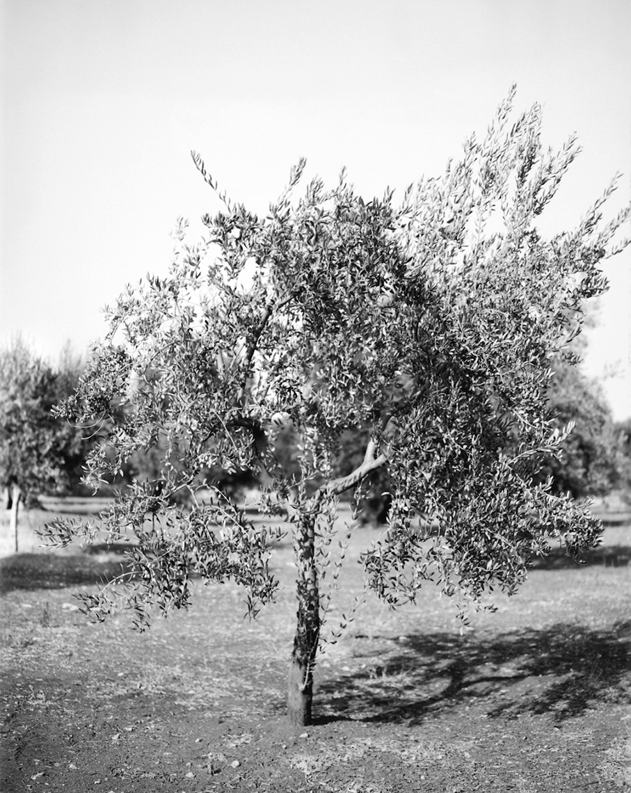 Axel Bernstorff, Olive tree. Puglia. Italy. Tradition. Olive oil. Character. Iconic. Noble. Heritage. Collectable limited edition prints. Olive tree. Puglia. Italy. Tradition. Olive oil. Character. Iconic. Noble. Heritage.