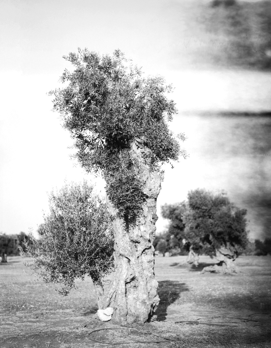 Axel Bernstorff, Olive tree. Puglia. Italy. Tradition. Olive oil. Character. Iconic. Noble. Heritage. Collectable limited edition prints. Olive tree. Puglia. Italy. Tradition. Olive oil. Character. Iconic.Noble. Heritage. Axel Bernstorff, Collectable limited edition prints. Olive tree. Puglia. Italy. Tradition. Olive oil. Character. Iconic. Noble. Heritage.