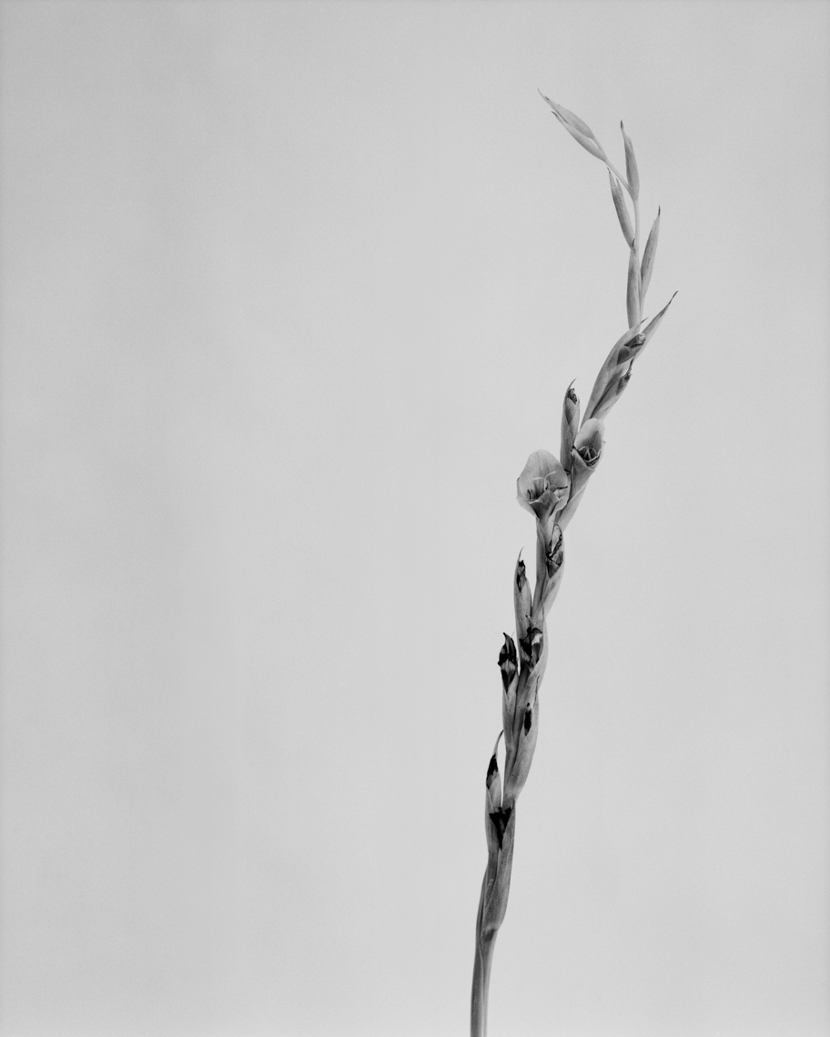 Axel Bernstorff, Collectable limited edition fine art photographic prints. Gladiolus (from iris family Iridaceae)