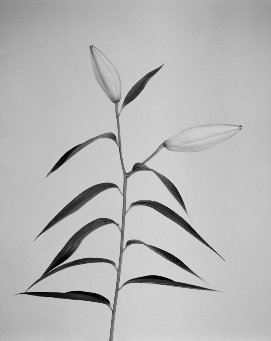Axel Bernstorff, Collectable limited edition fine art photographic prints. Open Peony flower, (Paeoniaceae family) Platinum / Palladium and silver gelatin Prints available.Axel Bernstorff, Collectable limited edition prints. Closed lily flower, (Lilium candidum)