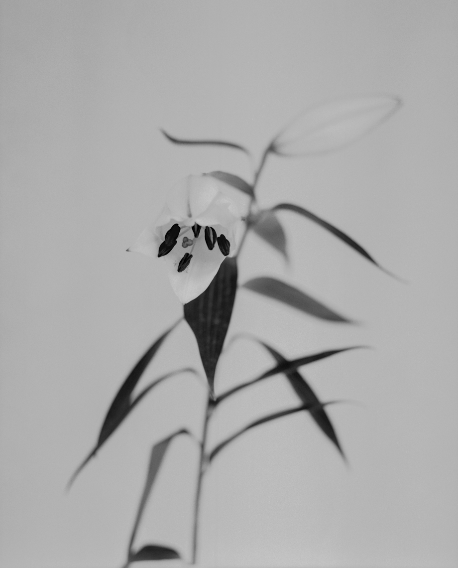 Axel Bernstorff, Collectable limited edition fine art photographic prints. Closed Lilium