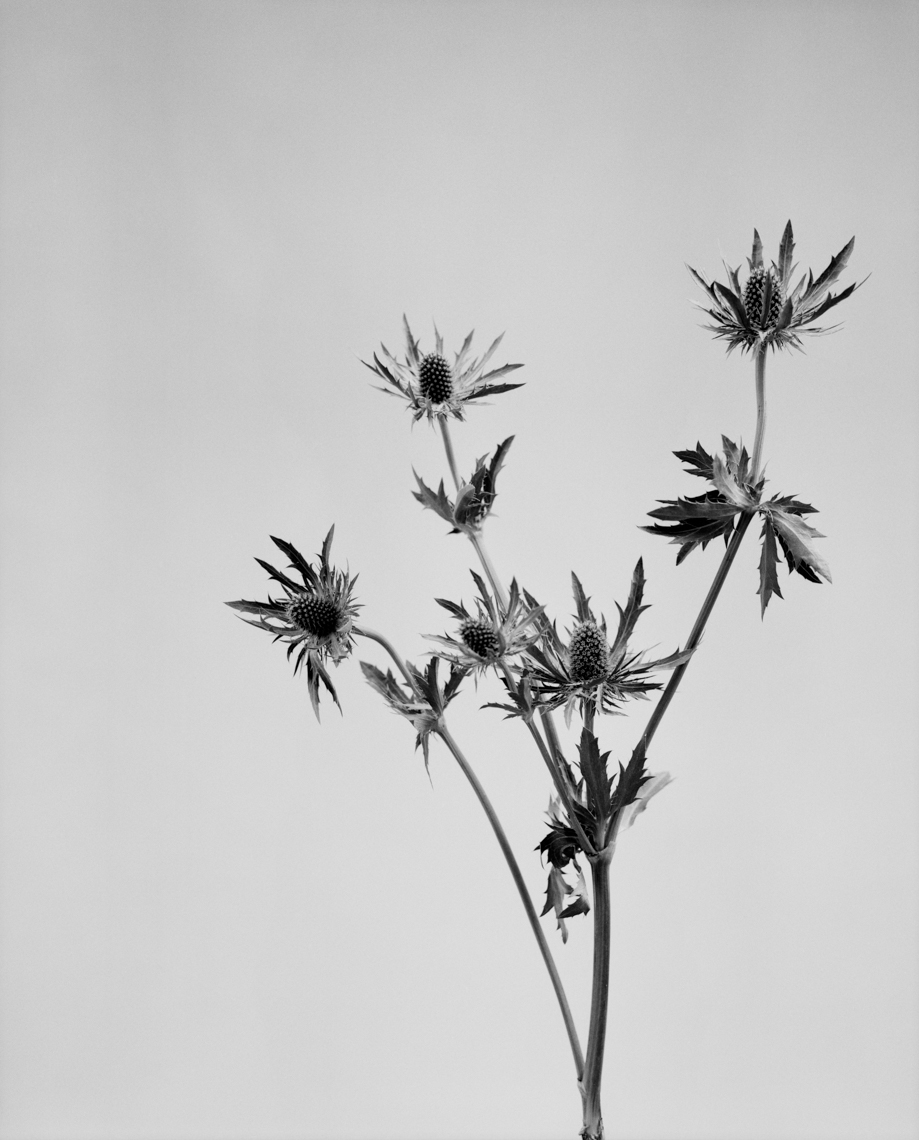 Axel Bernstorff, Collectable limited edition fine art photographic prints. Milk thistle. Cordoba, Spain. Platinum / Palladium and silver gelatin prints available.