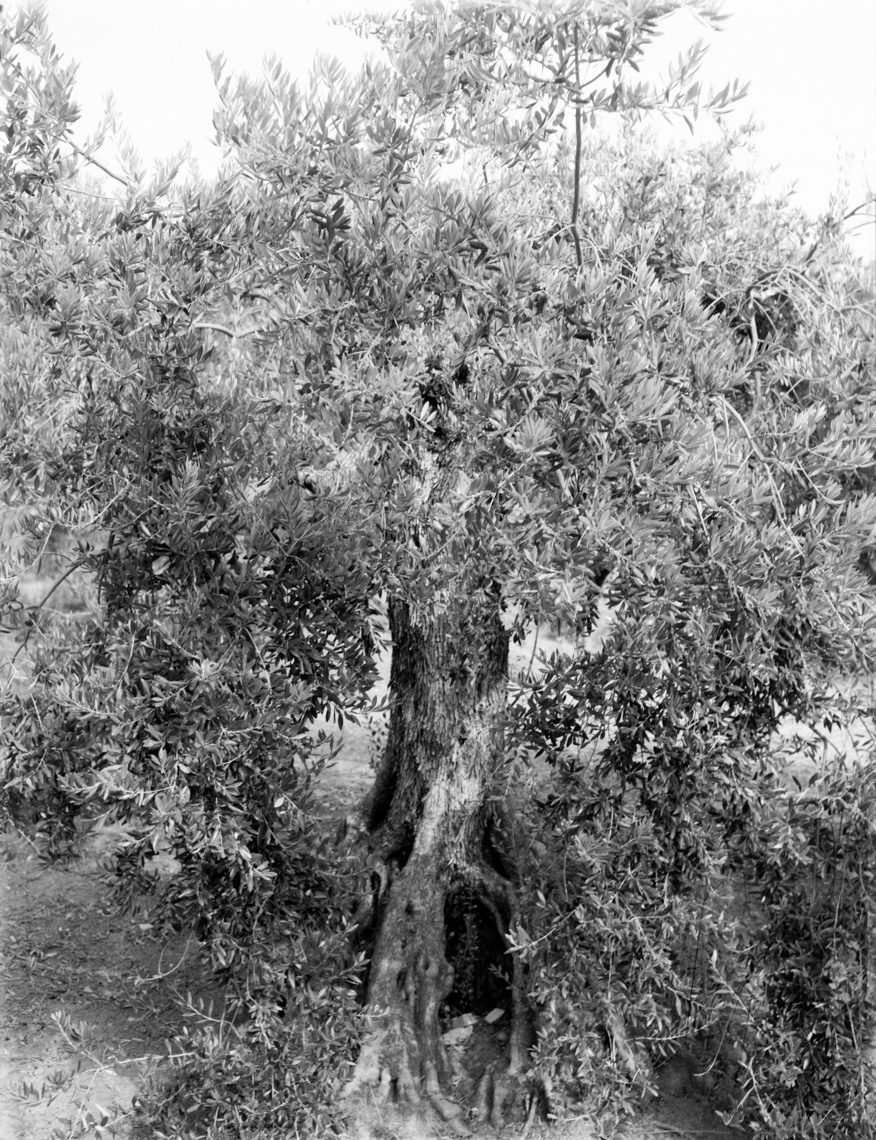 Axel Bernstorff, Olive tree. Malaga, Spain. Tradition. Olive oil. Character. Iconic. Noble. Heritage. Collectable limited edition prints. Olive tree. Malaga, Spain. Tradition. Olive oil. Character. Iconic. Noble. Heritage.