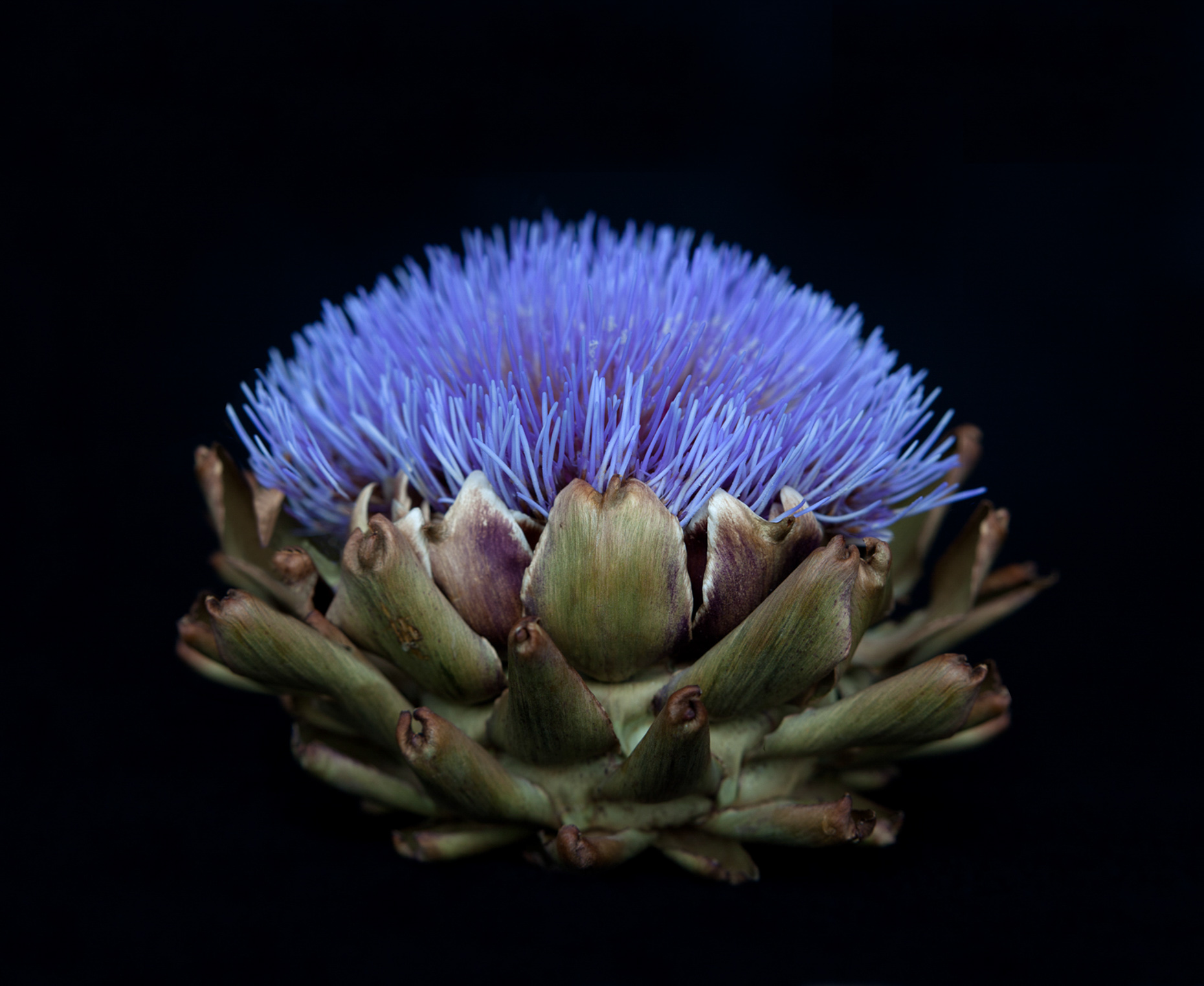 Axel Bernstorff, Collectable limited edition fine art photographic prints. Flowering lobe artichoke (Cynara cardunculus var. scolymus)