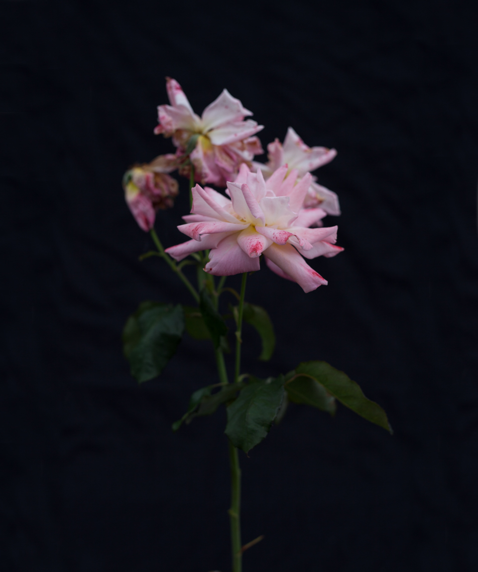 Axel Bernstorff, Collectable limited edition fine art photographic prints. Aotearoa Rose, MacGenev; Hybrid Tea.
