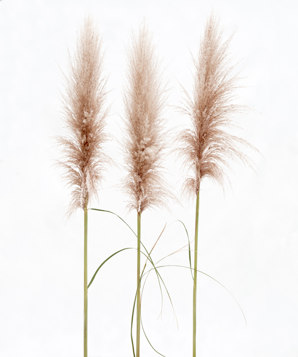 Axel Bernstorff, Collectable limited edition fine art photographic prints. Austroderia toetoe grass.