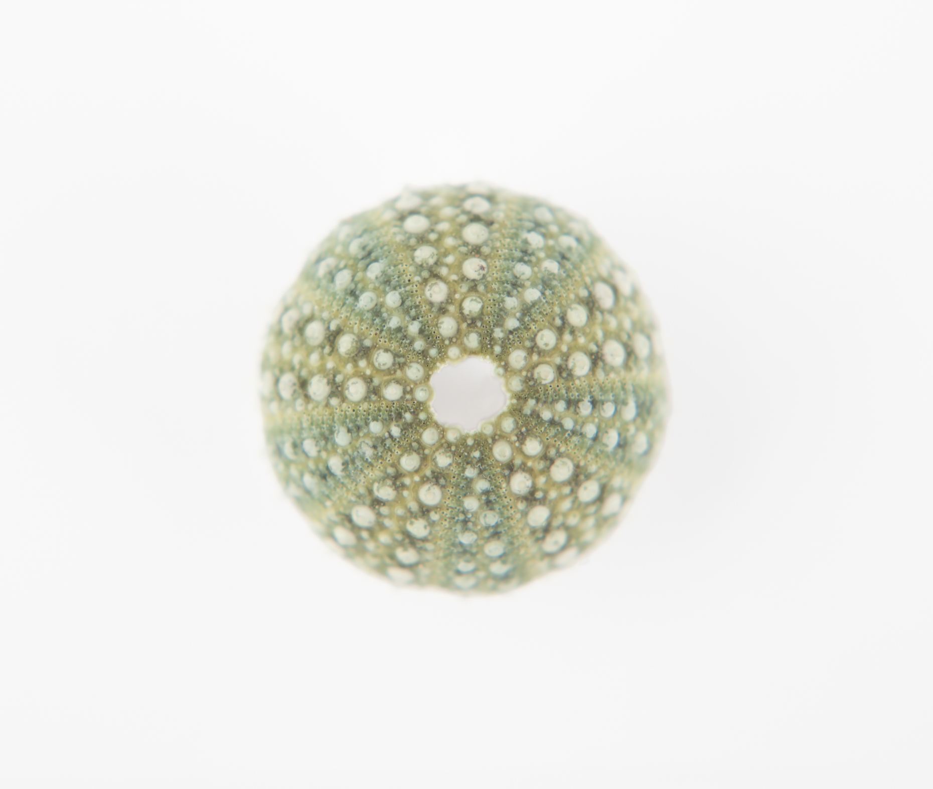 Axel Bernstorff, Collectable limited edition fine art photographic prints. Miniature sea urchin shell (Echinoidea)