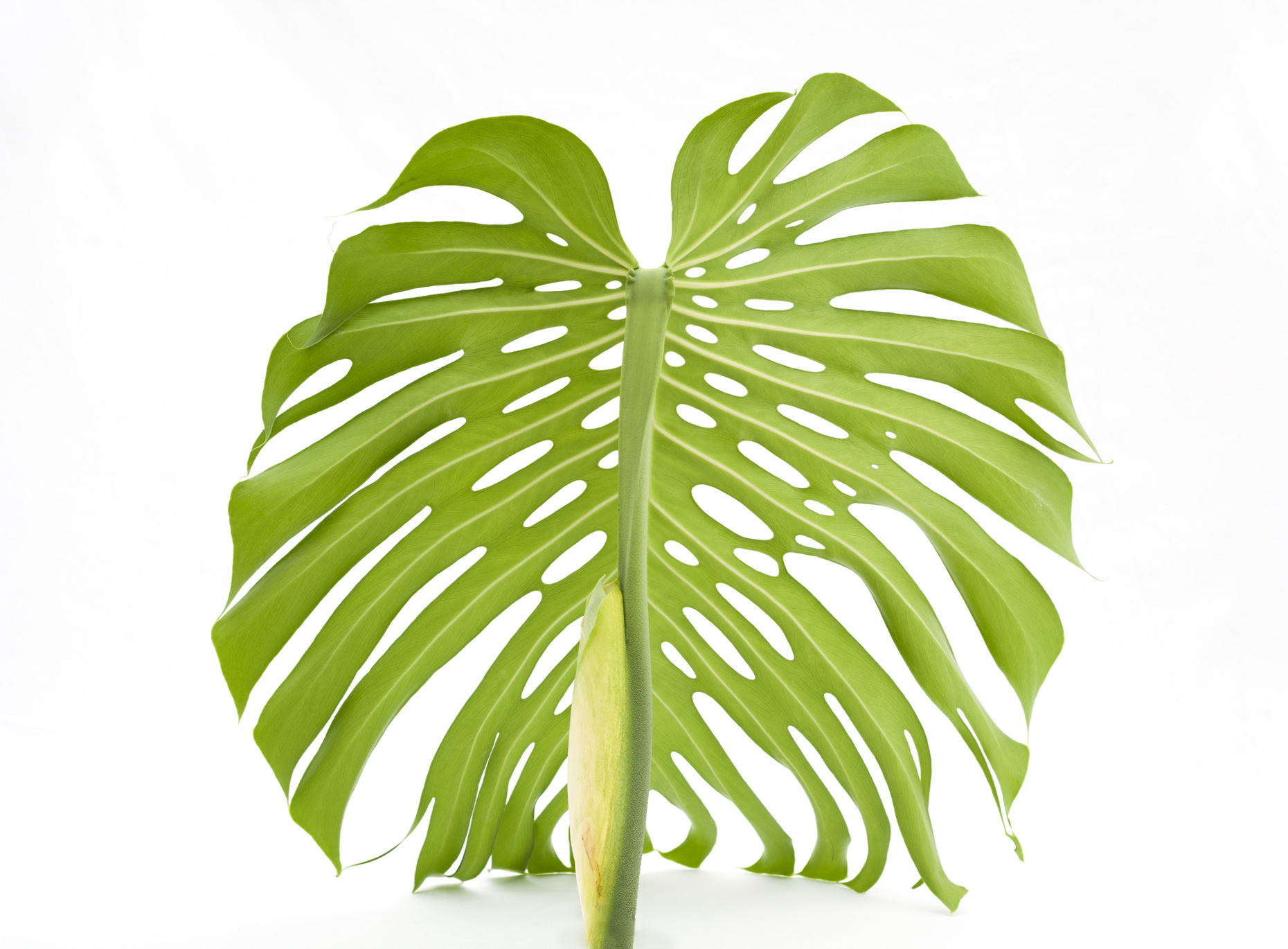 Axel Bernstorff, Collectable limited edition fine art photographic prints. Cheese plant (Monstera deliciosa)